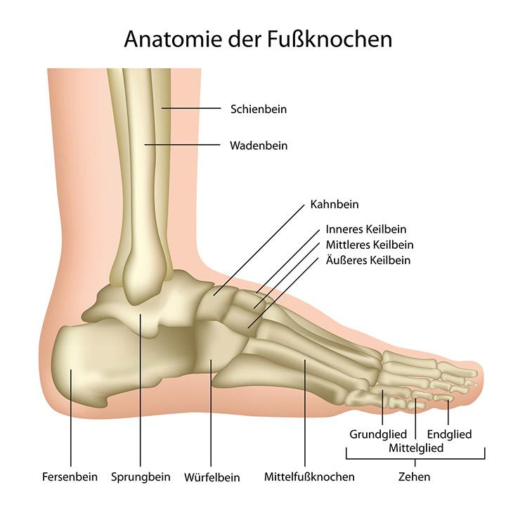 Anatomie der Fußknochen