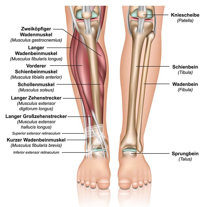 Fein Anatomie Der Beinmuskulatur Galerie - Menschliche Anatomie ...