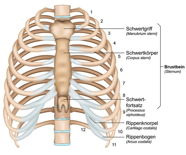 Die siebente Halswirbelsäule