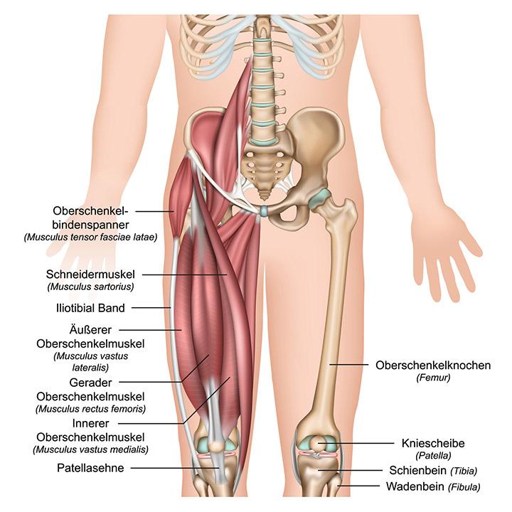 Anatomie des Oberschenkels