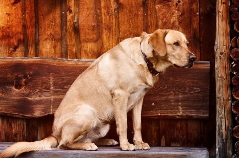 Auch wenn sich die meisten Hunde zum Therapietier ausbilden lassen, eignen sich wenig bedrohlich wirkende Rassen wie Labradore am besten.