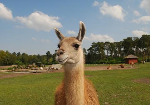 Lamas und Alpacas sind äußerst gutmütige Tiere und eignen sich dadurch zur Behandlung verschiedenster Krankheitsbilder.