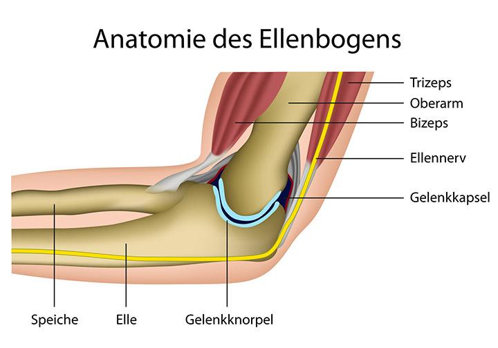 Anatomie des Ellenbogens