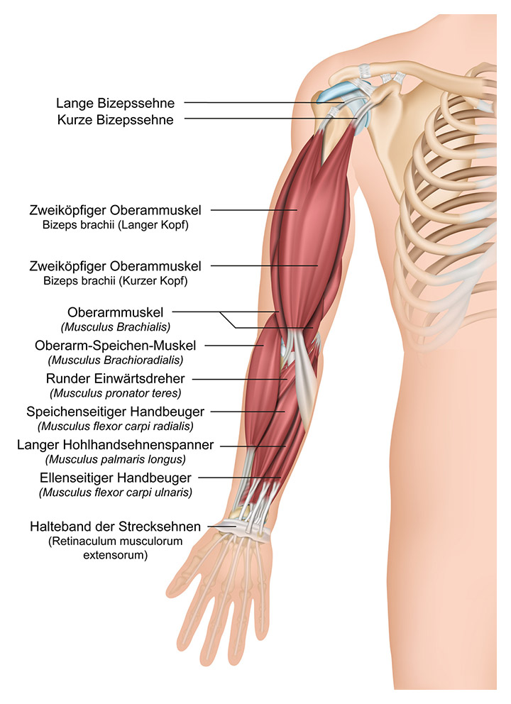 Anatomie des Armes